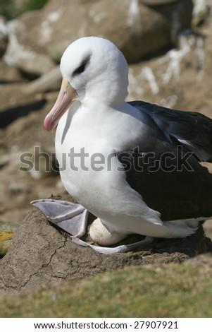 Black-browed albatross (Diomedea melanophris) on Saunders Island, Falkland Islands