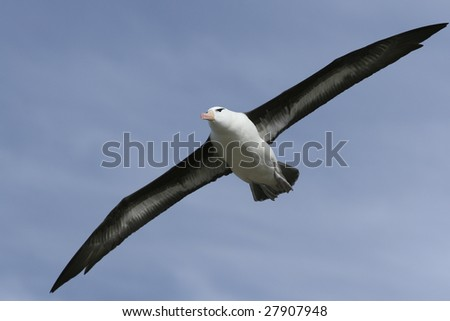 Black-browed albatross (Diomedea melanophris) on Saunders Island, Falkland Islands
