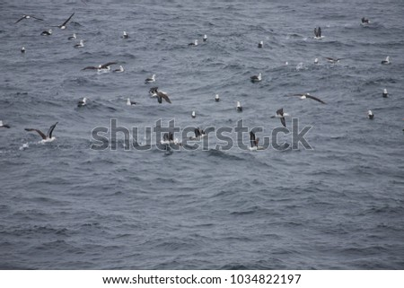 Black-browed albatross, drake passage #1034822197
