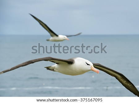 Black browed albatross flying over the sea, with onotheralbatross in background, South Georgia Island, Antarctica #375167095