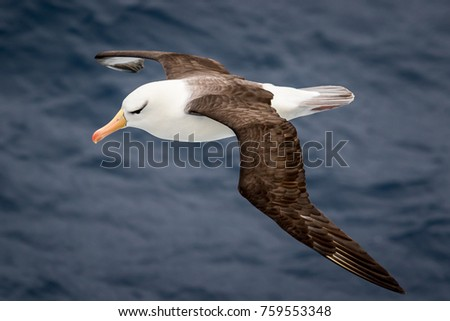 Black-browed albatross in Antarctica