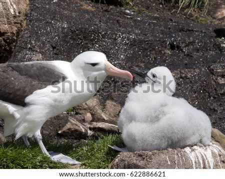 Black-browed Albatross, Thalassarche melanophris with young in the nest, Sounders Island, Falkland Islands / Malvinas #622886621