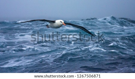 Black-browed Albatross (Thalassarche melanophrys) in flight over the southern atlantic oceans near Antarctica. #1267506871
