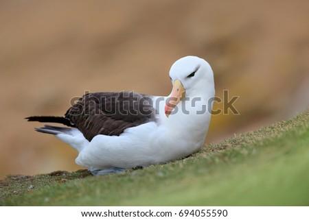 Black-browed albratross. Albatross sitting on the cliff. Albatross with green grass. Albatross from Falkland Island. Sea bird albatross in the nature habitat. Beautiful sea bird #694055590