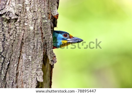 Black-browed Barbet a bird hatching at nest on a tree hole