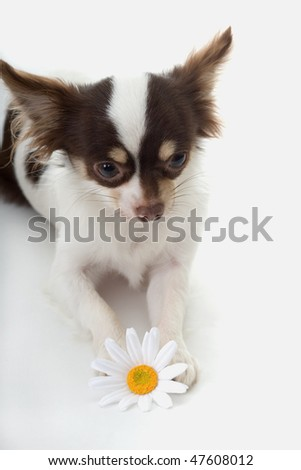long haired chihuahua black. white long hair chihuahua