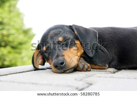 Black brown small dog sleep on floor