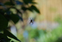 Black-brown spider on a background of nature. Among the lilac leaves, a thin barely noticeable fishing line is stretched in the center of which a black spider with mottled brown limbs sits.