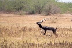 Black buck  (running)