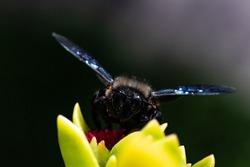 Black bumblebee with long antennae sucks nectar from a flower.Bumblebee like an alien