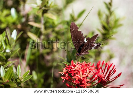 Black butterflies are eating sweet nectar from Circular pollen on spike flower and helps pollinate flowers.