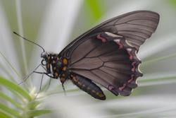 Black Butterfly an a leaf