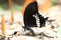 Black butterfly (Common Mormon)