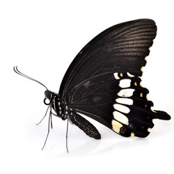 Black butterfly (Common Mormon) isolated on white background