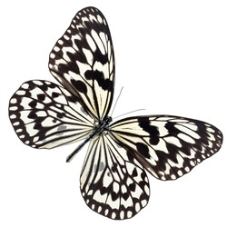 Black butterfly have Geometric shapes on a wing  isolated on white background