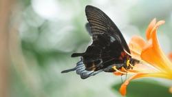 Black butterfly with black wings sits on orange flower. Macro.