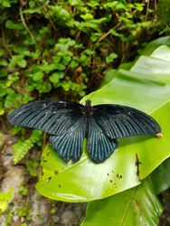 Black butterfly with green leaf in the garden