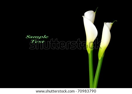 Black Calla lily with sample text