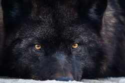 Black canadian wolf lies curled. Timber wolf with piercing eyes and yellow burning eyes