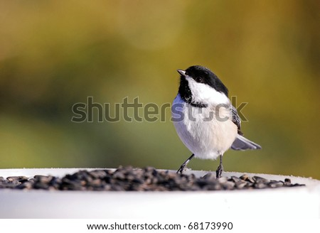 Black-capped chickadee at a feast of sunflower seeds - stock photo