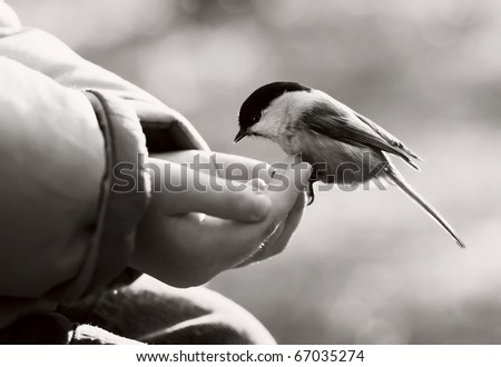 Black-capped Chickadee bird landing to arm of the child. Black and white photo.
