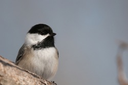 Black-capped Chickadee close up while perched on a branch
