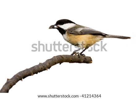 black-capped chickadee eats a sunflower seed while perched on a branch, white background