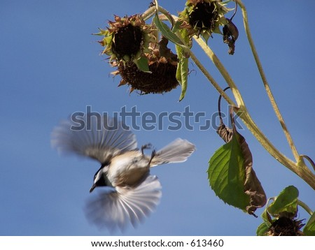 Black capped chickadee flying off after eating from a sunflower plant.