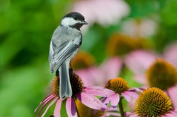 Black capped Chickadee in Minnesota Agnieszka Bacal.