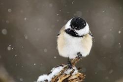 Black-Capped chickadee in winter scenery.