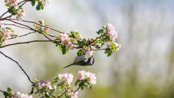 Black capped Chickadee on a tree branch with spring bloom