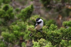 Black-capped Chickadee perched in a cedar tree.