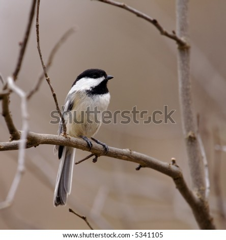 Black-capped chickadee perched in a tree