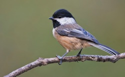 Black-capped Chickadee (Poecile atricapilla) in North Vancouver