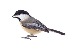 Black-capped chickadee, Poecile atricapilla, isolated on white