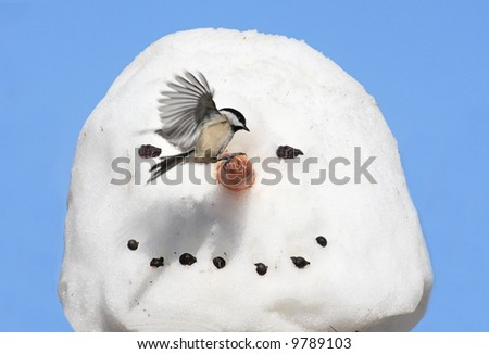 Black-capped Chickadee (poecile atricapilla) landing on a snow man