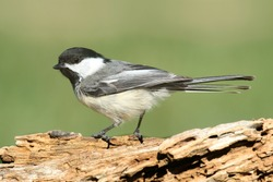 Black-capped Chickadee (poecile atricapilla) on a branch in winter