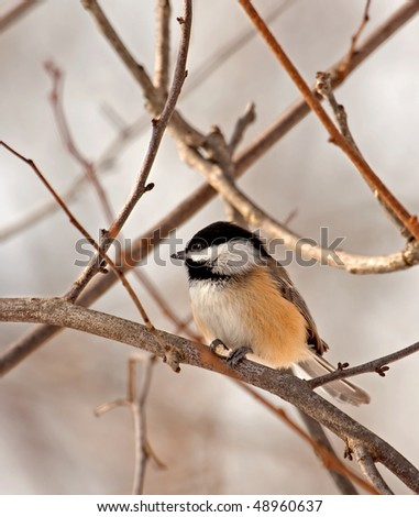 Black-capped chickadee, Poecile atricapilla, perched on a tree branch