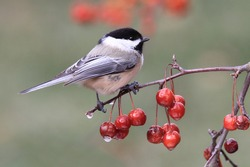 Black-capped Chickadee (poecile atricapilla) perched on Ornamental Cherries with ice