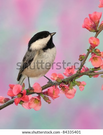 Black- capped Chickadee (Poecile atricapillus) on a flowering Quince branch.