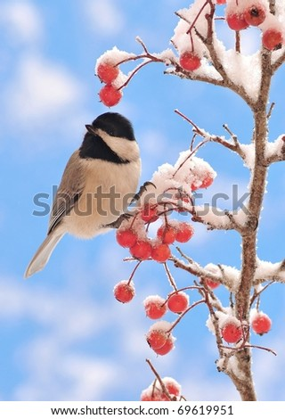 Black-capped Chickadee (Poecile atricapillus) on a snowy Hawthorn branch.