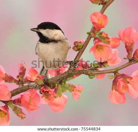 Black-capped chickadee (Poecile atricapillus) on flowering Quince.