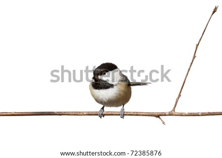 black capped chickadee sits on a branch; white background