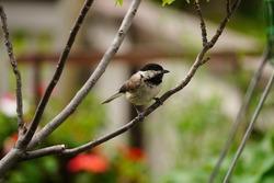 Black Capped Chickadee - Summer backyard birds, selective focus