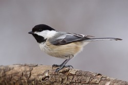 Black-capped Chickadee, very sharp, highly detailed portrait showing fine feather detail; at a nature center / park along the Delaware RIver in Philadelphia, Pennsylvania