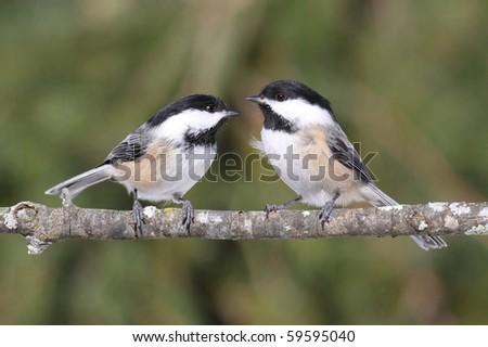Black-capped Chickadees (poecile atricapilla) on a branch with a colorful background
