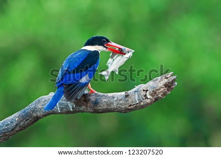 Black-capped Kingfisher with prey