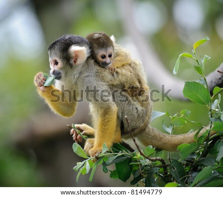 Black-capped squirrel monkey sitting on tree branch with its cute little baby