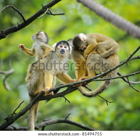 Black-capped squirrel monkeys  sitting on tree branch with their cute little babies