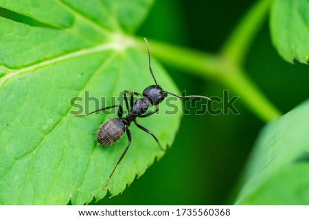 Black Carpenter Ant on Leaf Photo stock ©